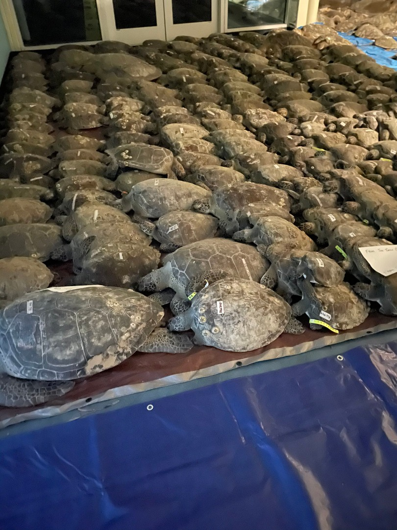 Volunteers Race Through Freezing Temperatures To Save 'Cold Stunned' Sea Turtles In Texas