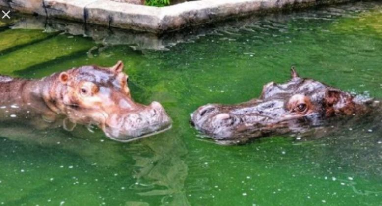 Hippo Couple Tie the Knot in Full Malay Traditional Culture