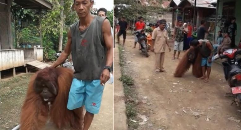 Orangutan Drops by for Some Food and TLC at Remote Indonesian Village